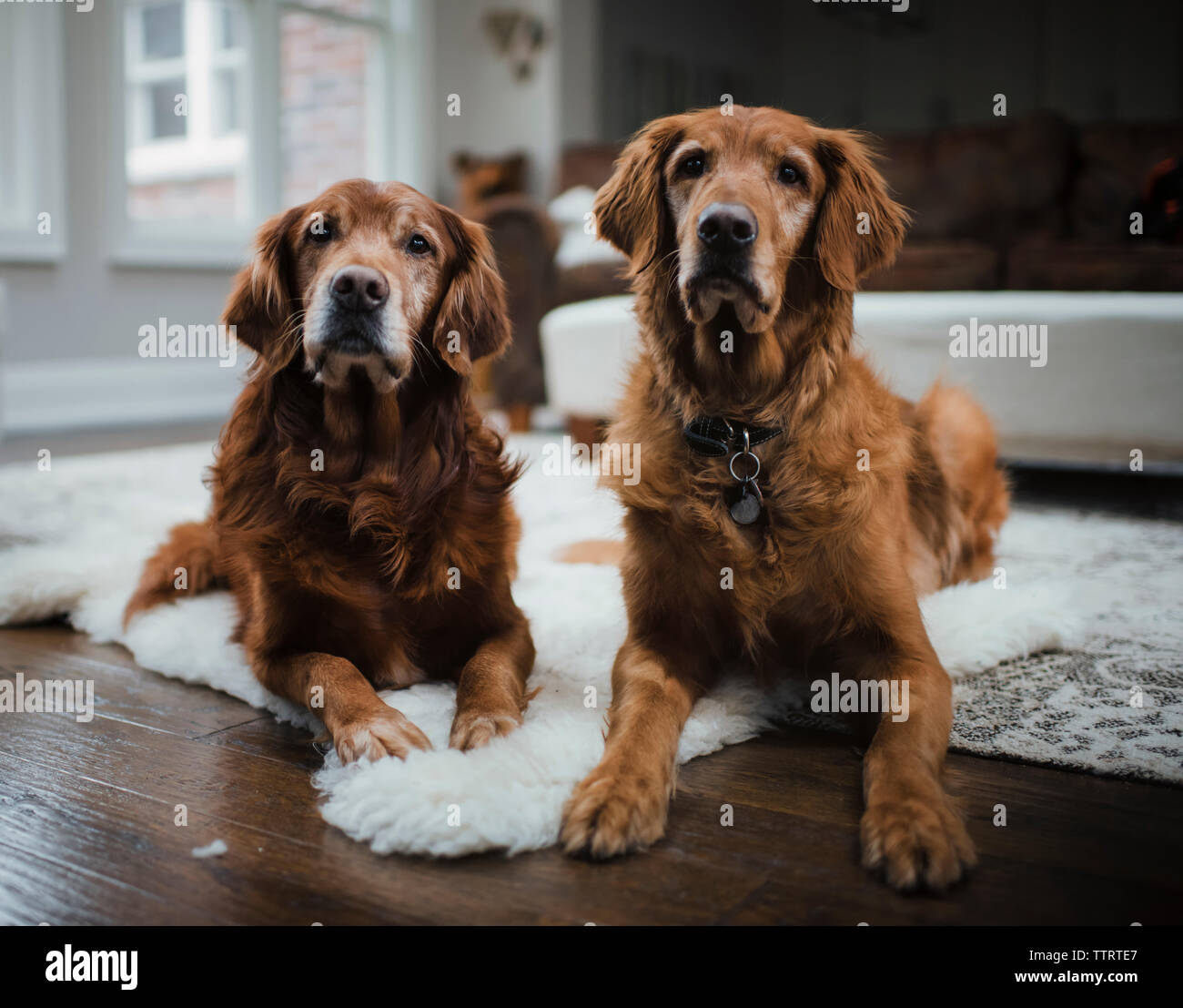 Golden retrievers sitting on rug in living room at home - Stock Image