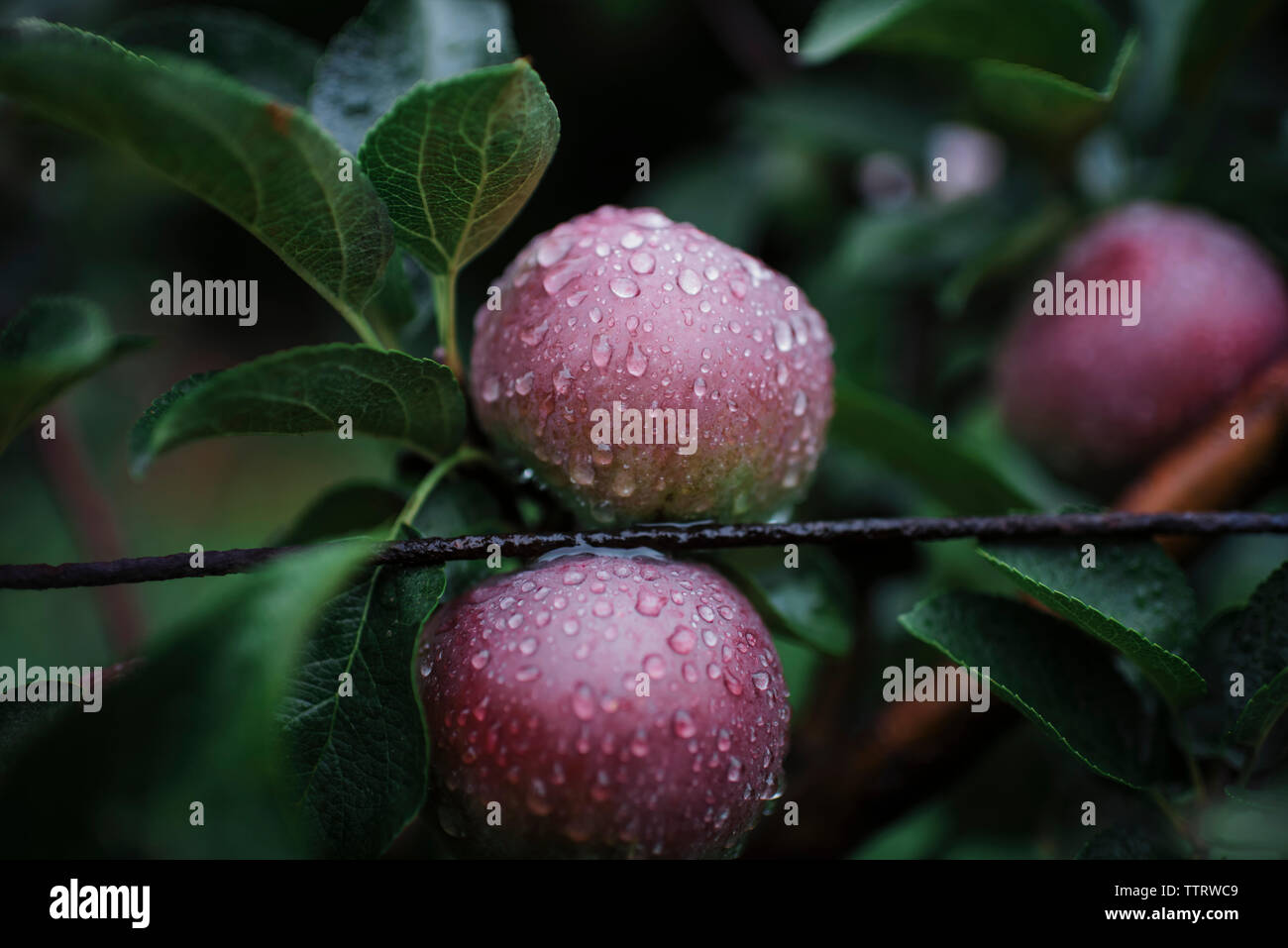 Close-up of wet apples growing on fruit tree - Stock Image