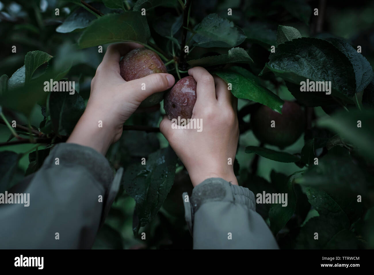 Cropped hands of boy picking fresh organic apples from fruit tree at orchard - Stock Image