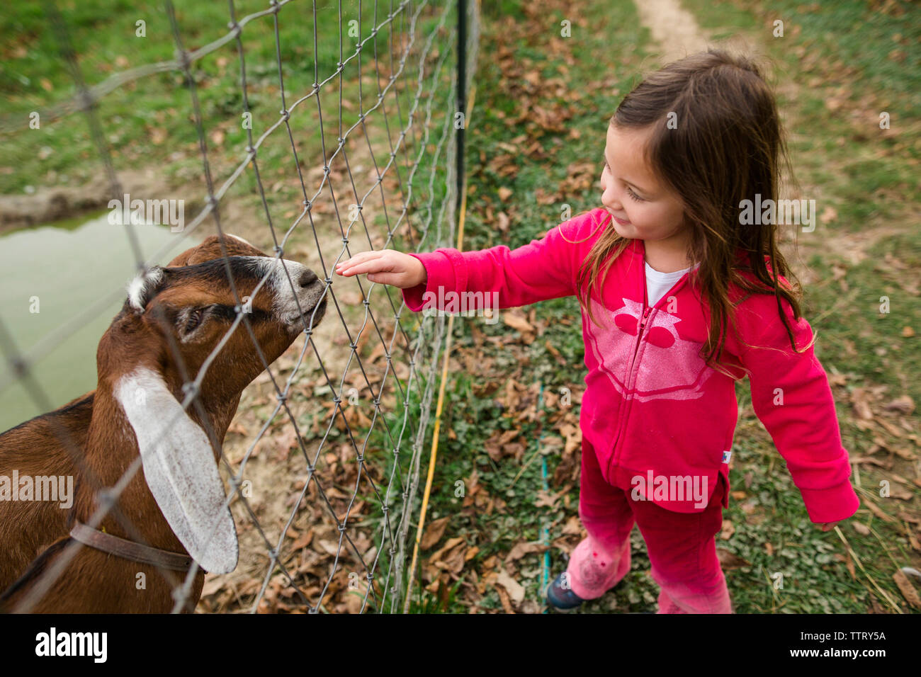 High angle view of girl touching kid goat through fence at farm - Stock Image