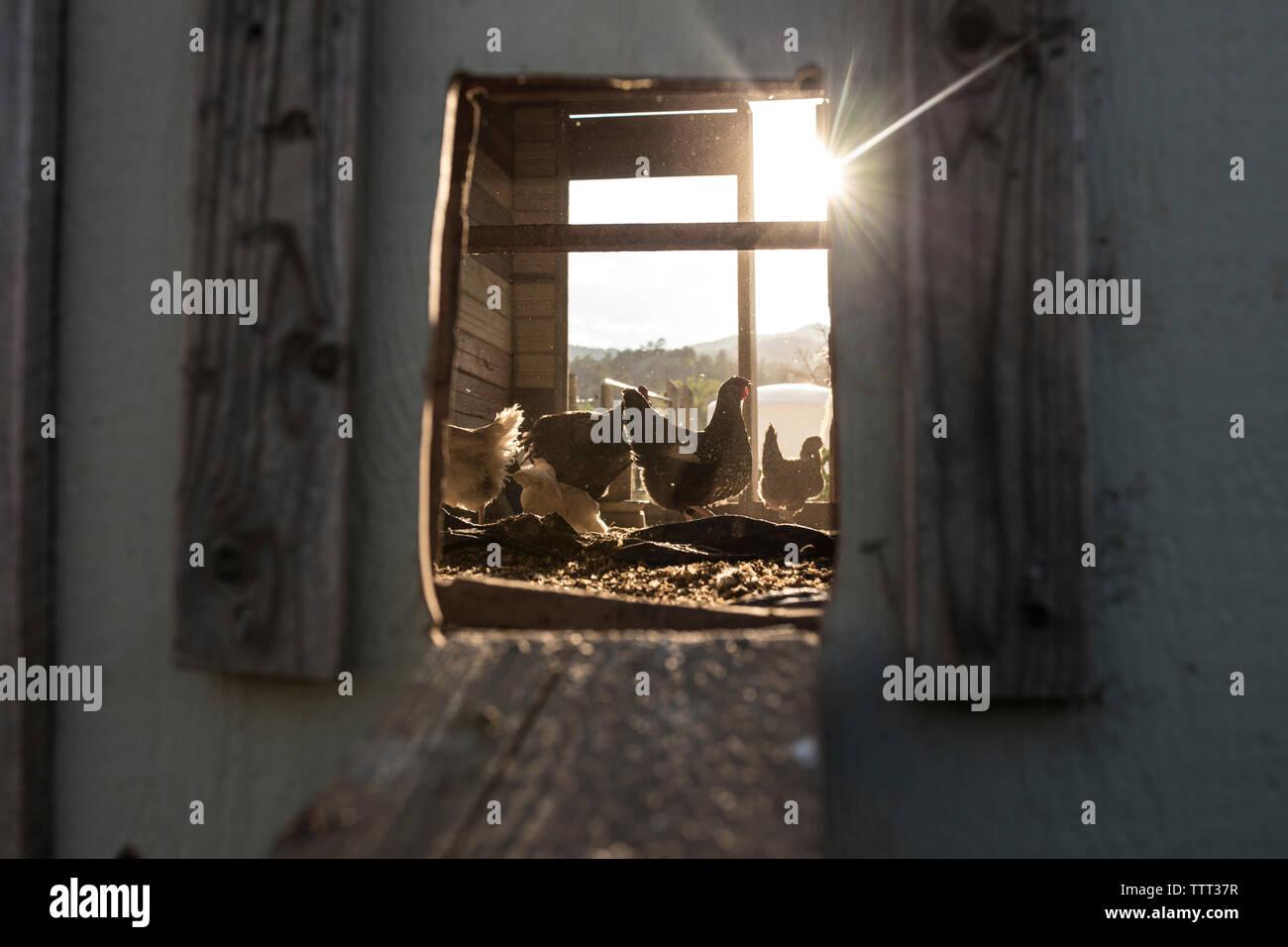 Hens in chicken coop seen through window - Stock Image