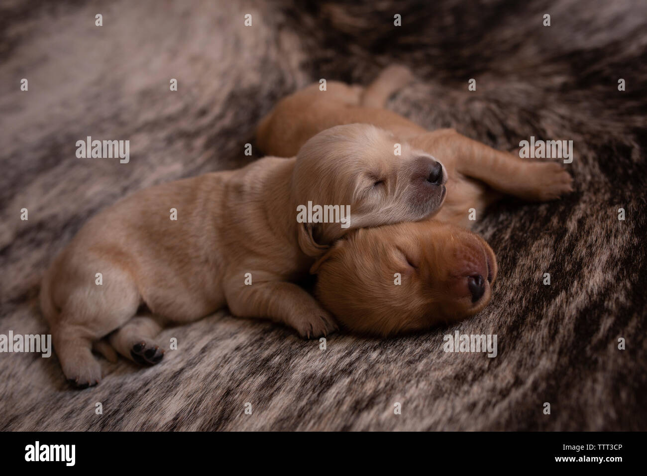 High angle view of cute puppies sleeping on rug at home Stock Photo