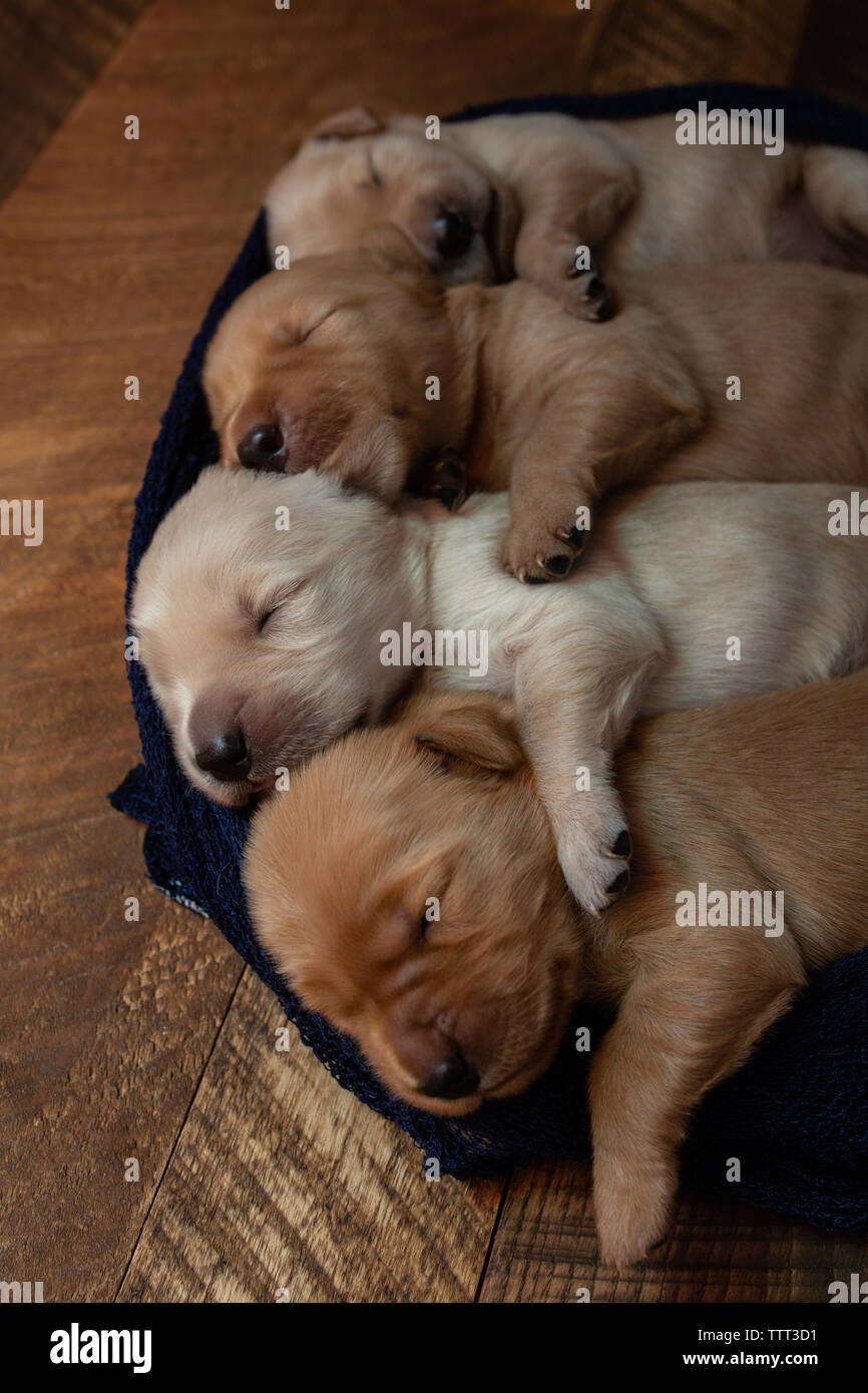 High angle view of cute puppies sleeping in row on pet bed at home - Stock Image