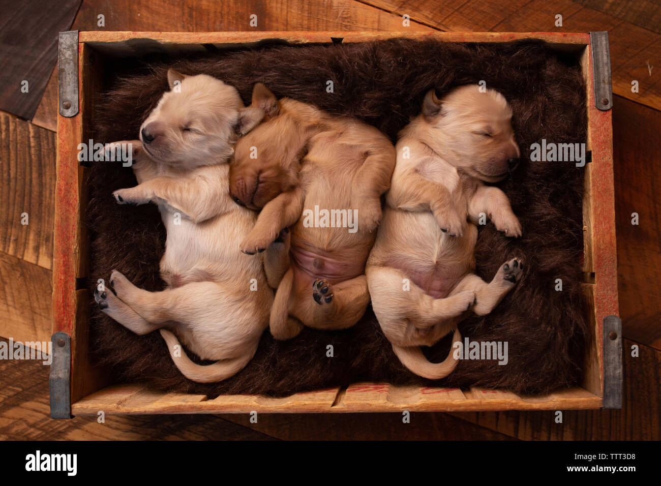 Overhead view of cute puppies sleeping in pet bed on hardwood floor at home - Stock Image