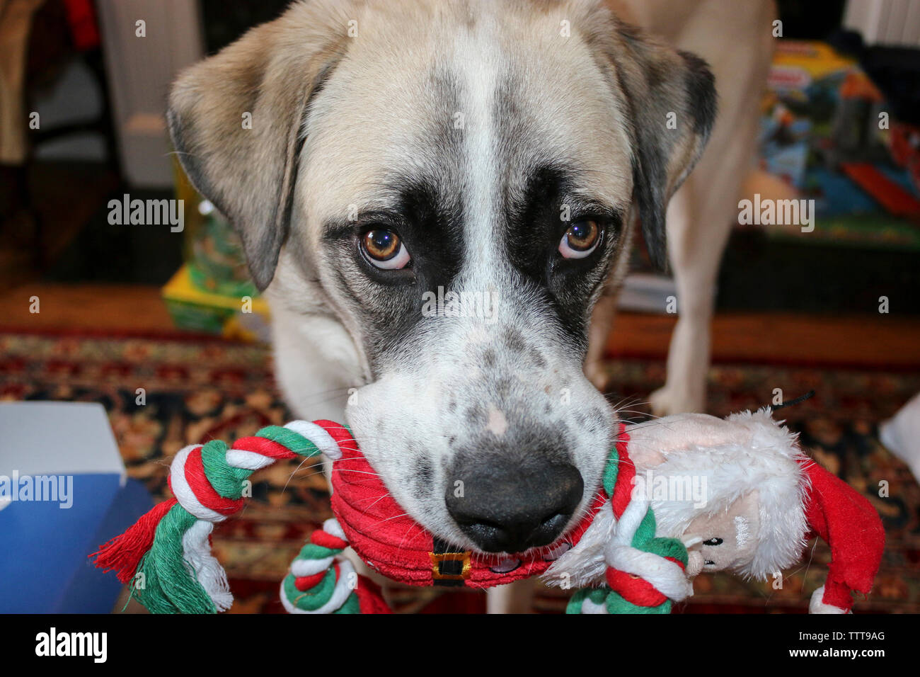 Close-up portrait of dog carrying Santa Claus Toy in mouth at home Stock Photo