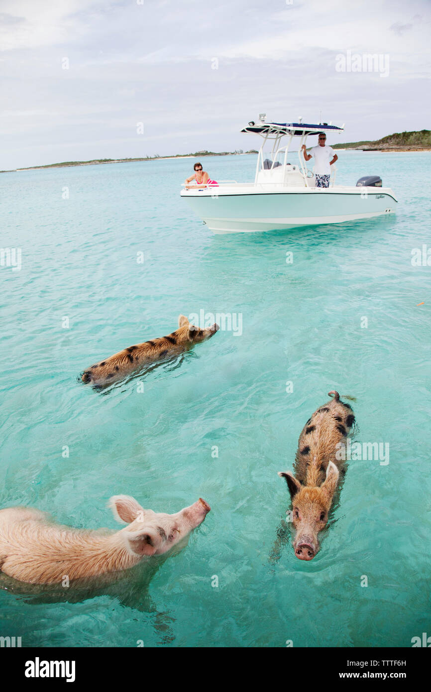 EXUMA, Bahamas  Swimming pigs at Big Major Cay Stock Photo