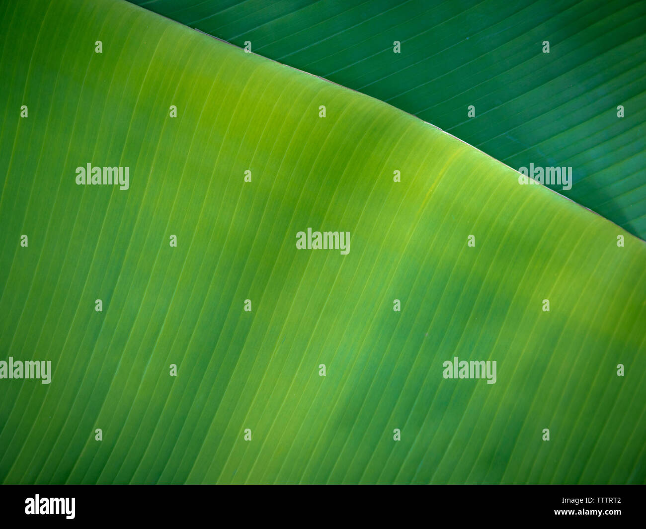 Tropical Banana Leaves Natural Green Background Natural Banana Leaves Can Be Used In Many Ways In Everyday Life Stock Photo Alamy As animal and insect life does not need to expend energy keeping warm, it can spend more energy on reproduction and reproduce with greater frequency. alamy