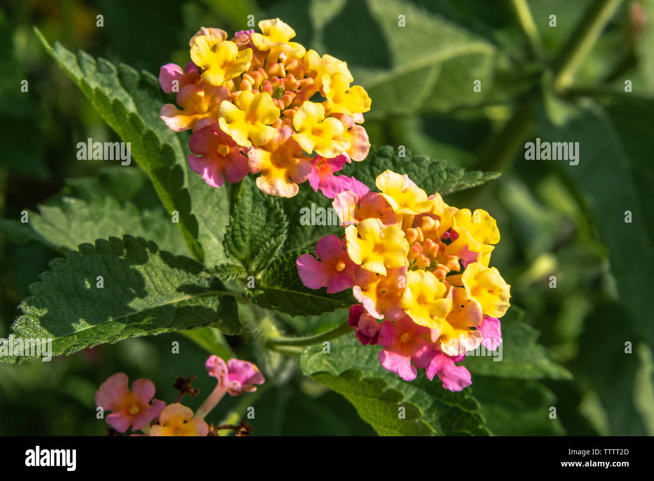 Colorful Lantana camara flowers at Atlanta Botanical Garden in Gainesville, Georgia. (USA) - Stock Image