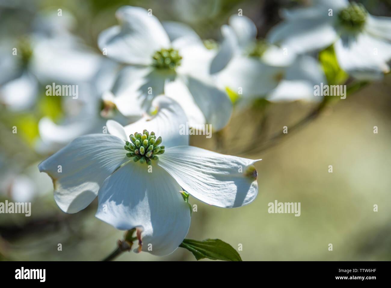 White dogwood blossoms. Stock Photo