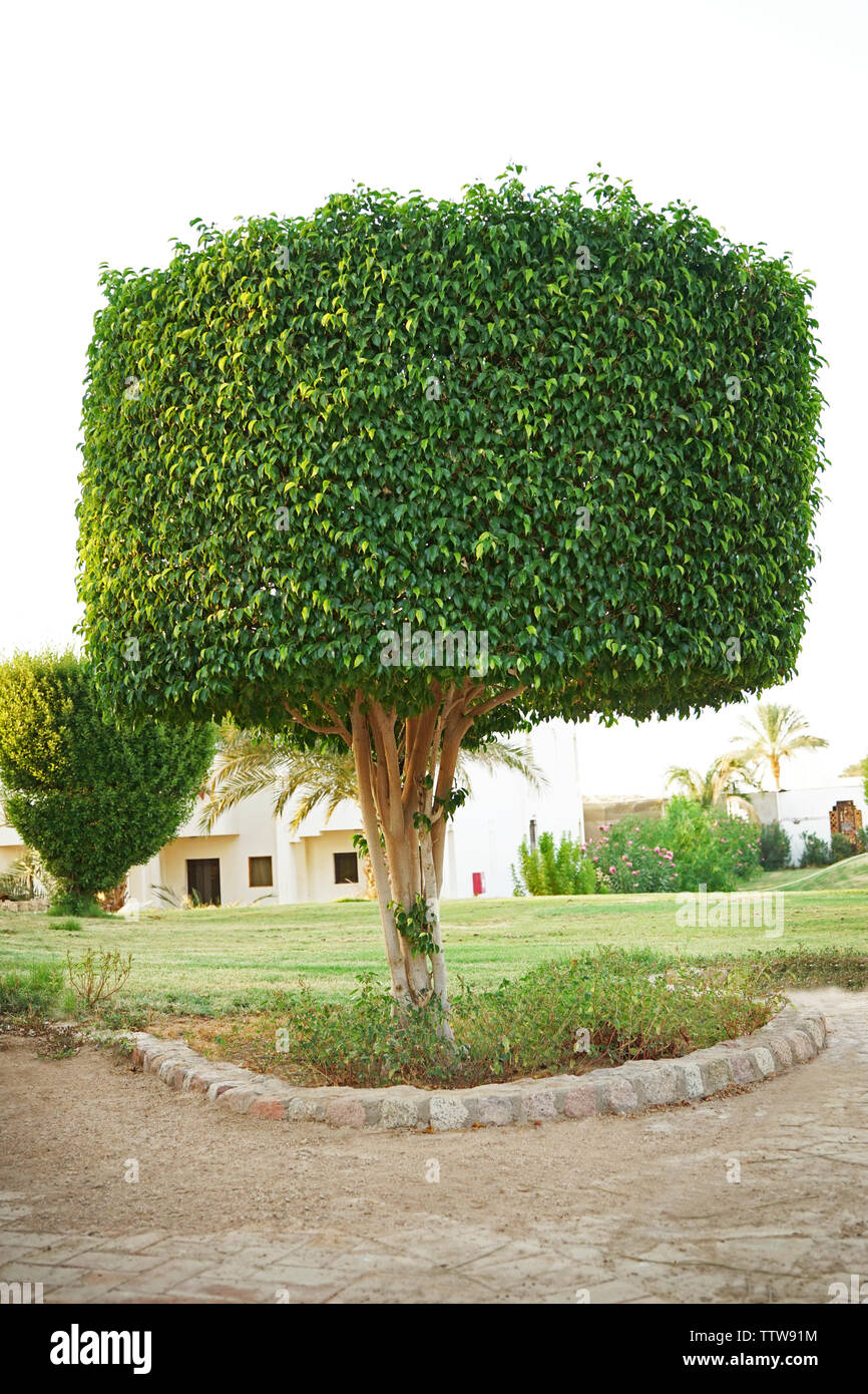 Topiary Tree In The Form Of A Cylinder In The Garden Stock Photo