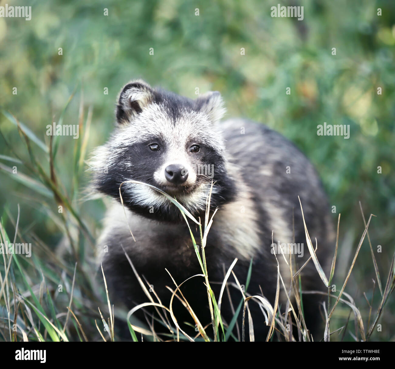 Racoon Dog Pet Stock Photos & Racoon Dog Pet Stock Images