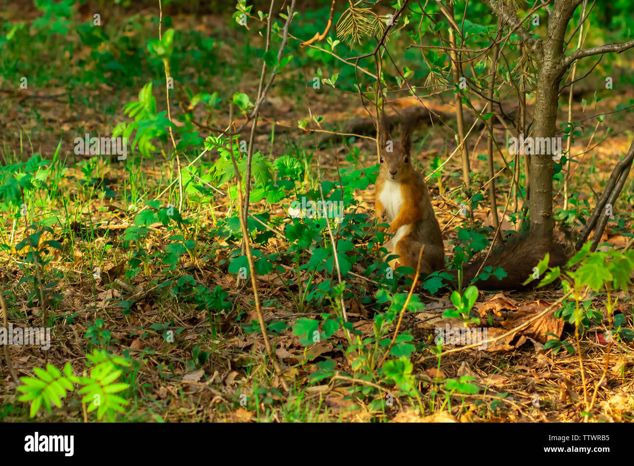 Red-haired wild squirrel stands in green foliage in the forest - Stock Image