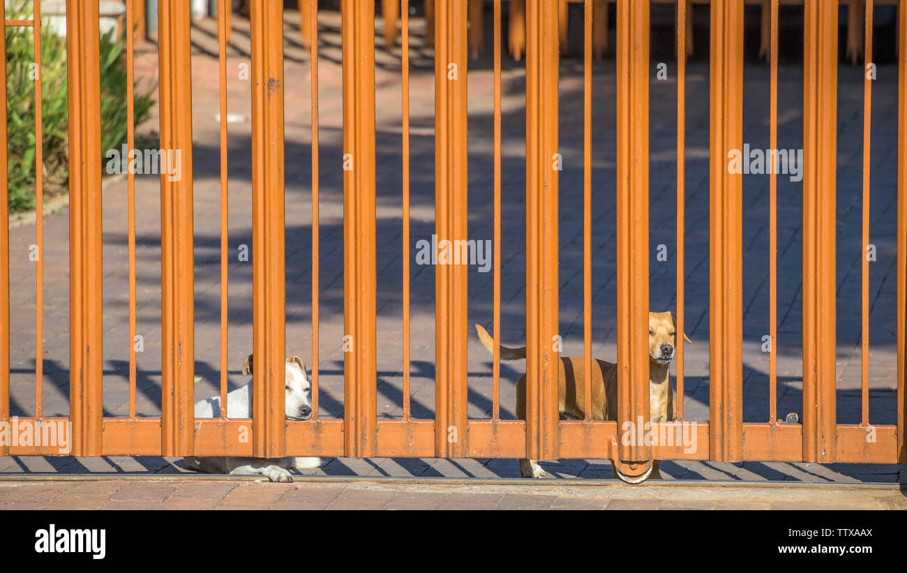 two pet dogs wait patiently at the gate for their owner to return home image in landscape format with copy space - Stock Image