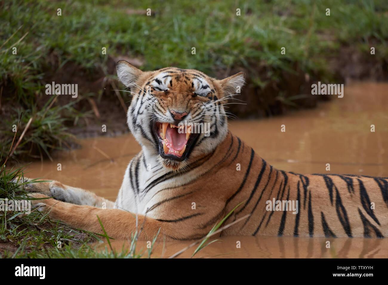 Bengal Tigress Maya at Tadoba forest, India. - Stock Image