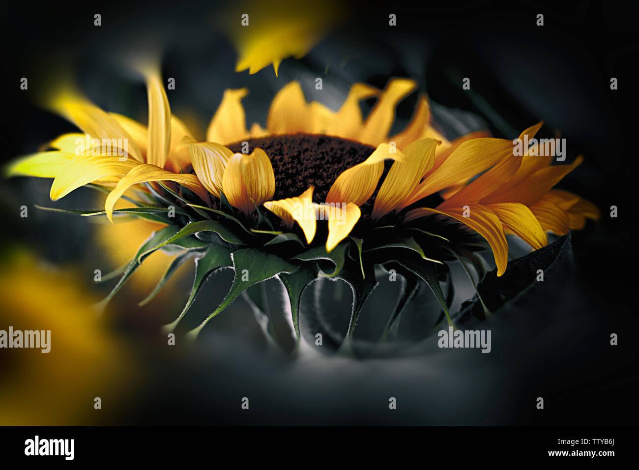 magic sunflower, spain - europe Stock Photo