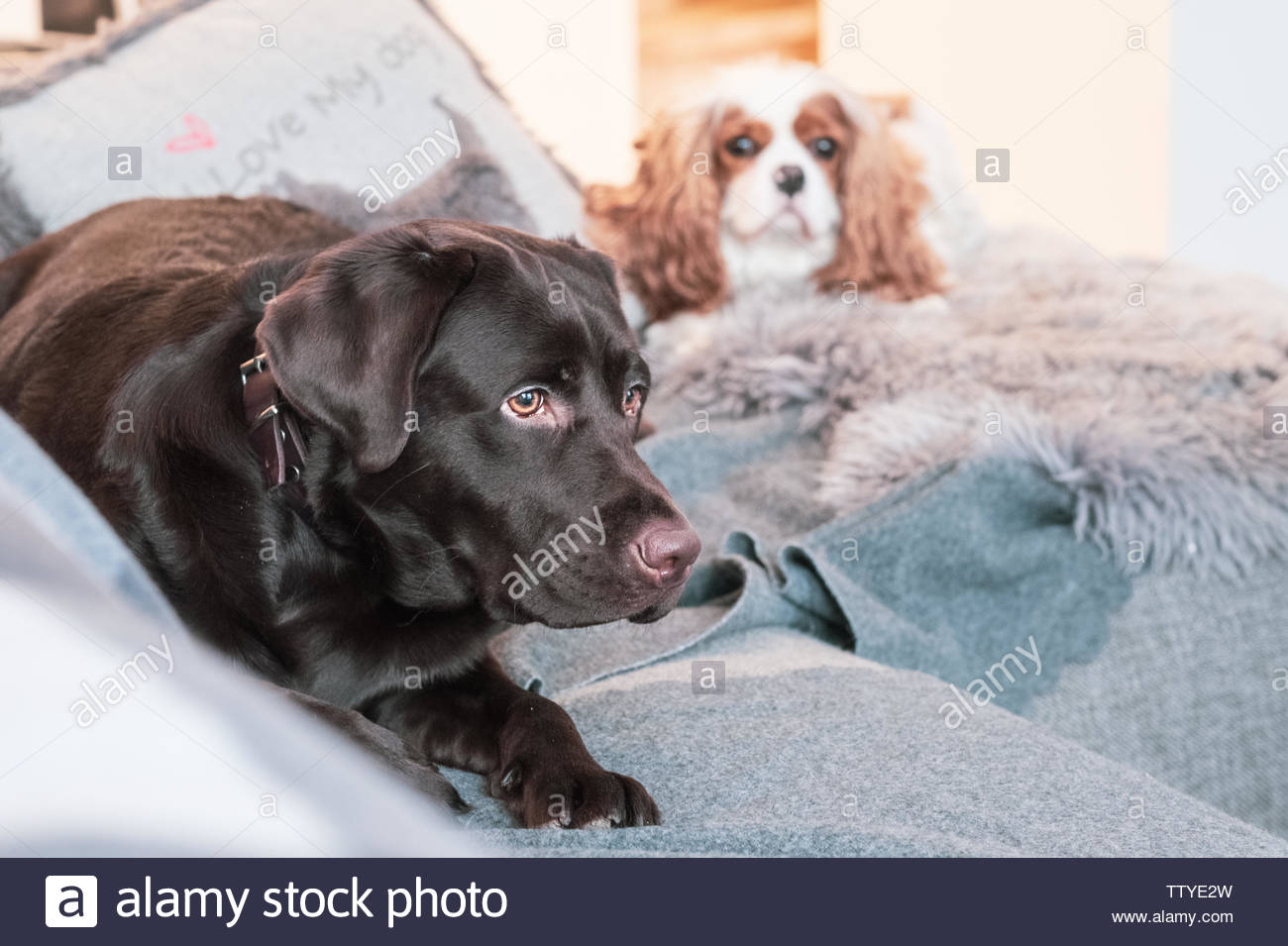 Bored Dogs Stock Photos & Bored Dogs Stock Images - Alamy
