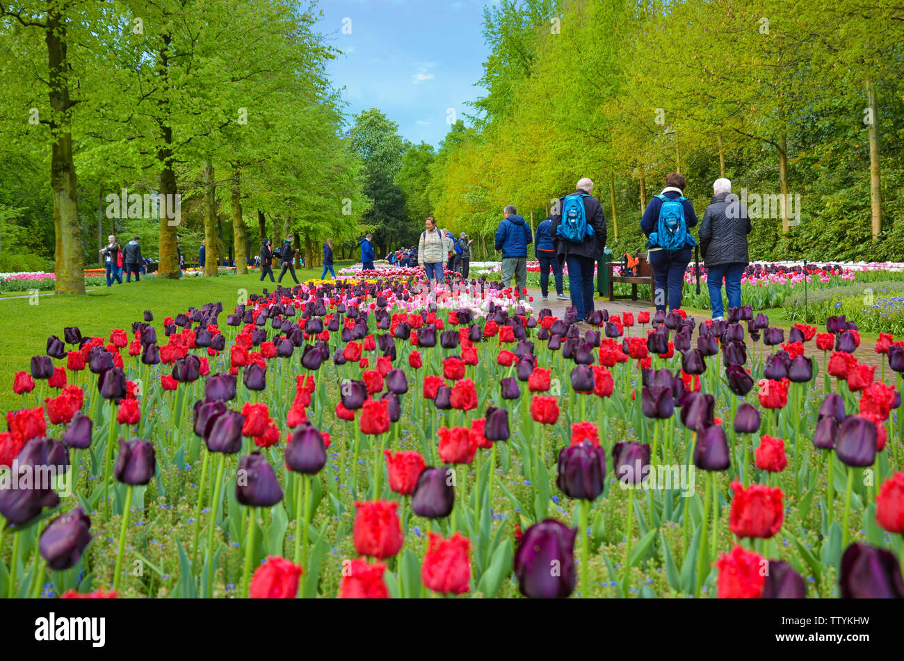 Keukenhof, Lisse, Netherlands - Apr 28th 2019: Beautiful red and dark purple tulips in famous Dutch Keukenhof gardens. Walking tourists in the background. Major tourist attraction in Holland. - Stock Image