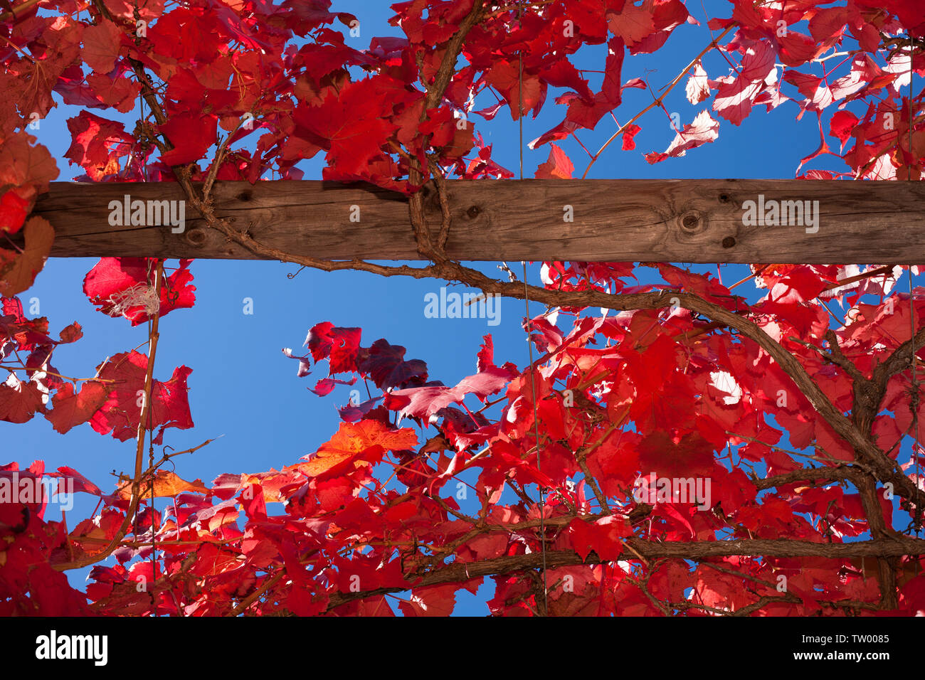 Red autumn leaves of a grape vine growing on a trellis. Stock Photo