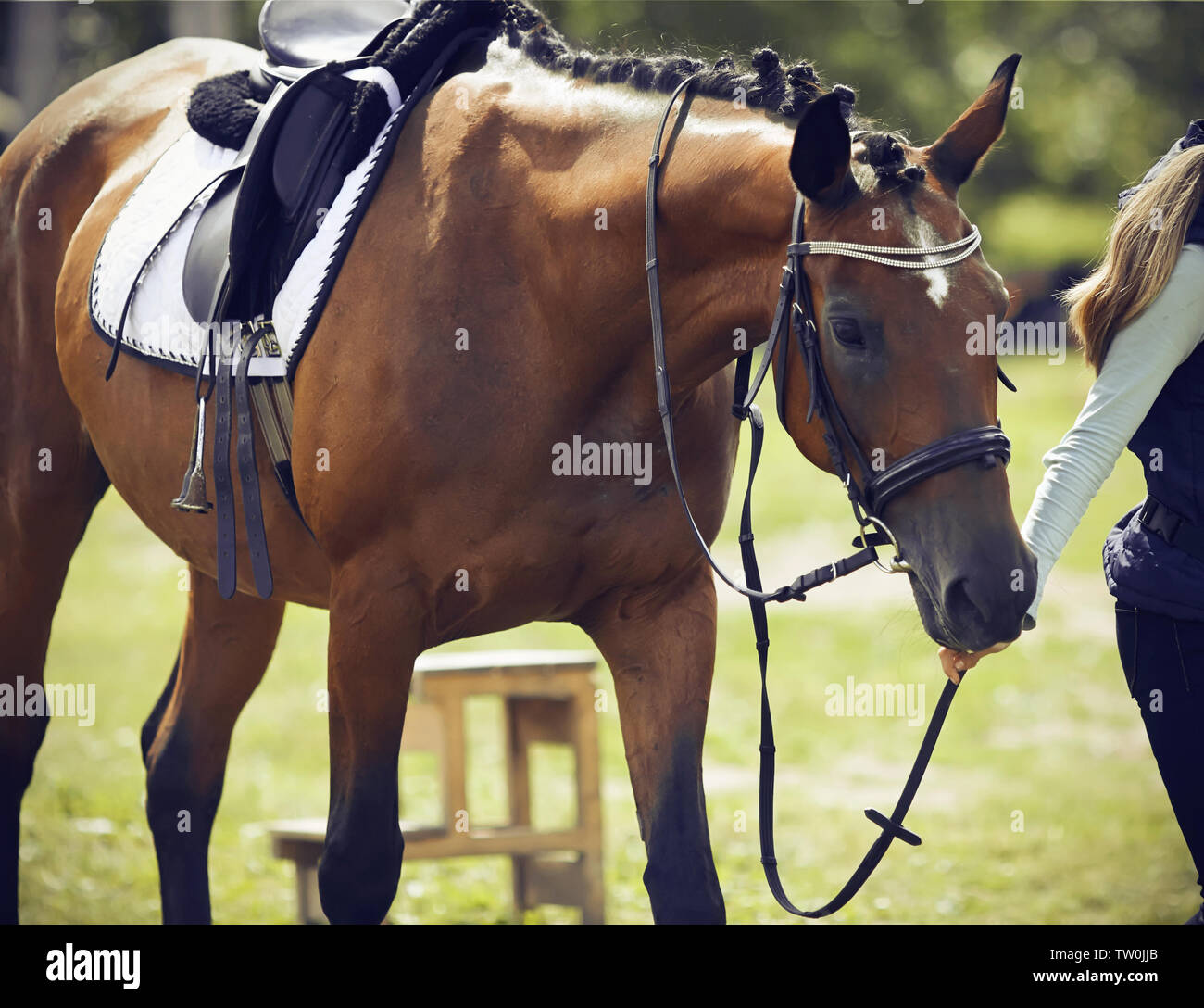 Girl rider leads a bridle Bay horse, dressed in ammunition for dressage and equestrian sports, on a Sunny summer day - Stock Image