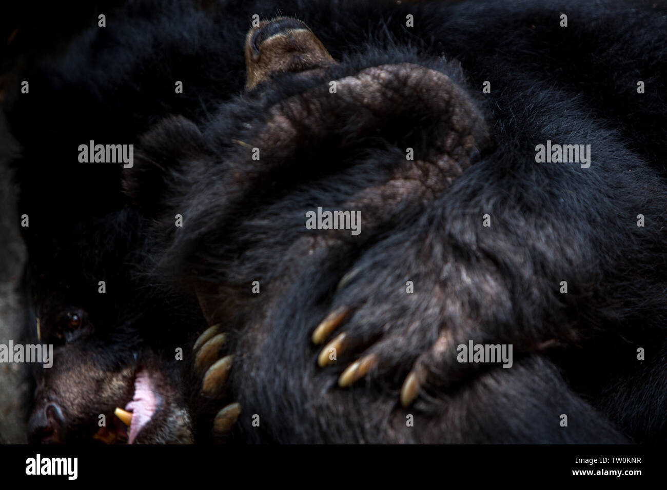 Closeup to the face of two adults Formosa Black Bears figthing with the claws in the forest. Ursus Thibetanus Formosanus figth Stock Photo