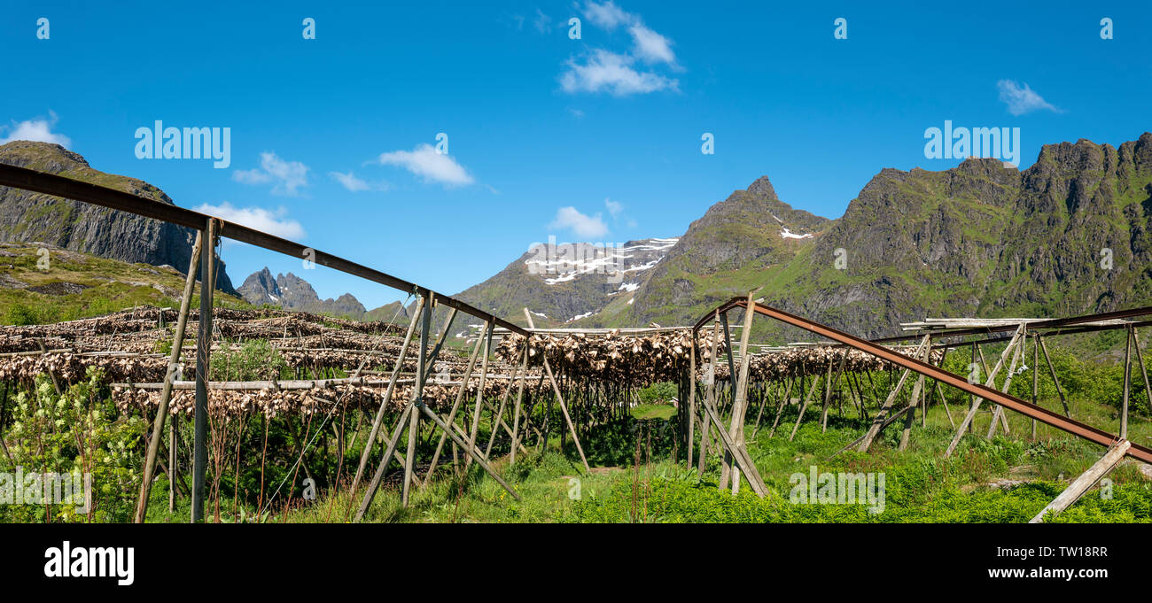 Drying fish in the traditional manner on open air racking, Lofoten Islands, Norway. - Stock Image