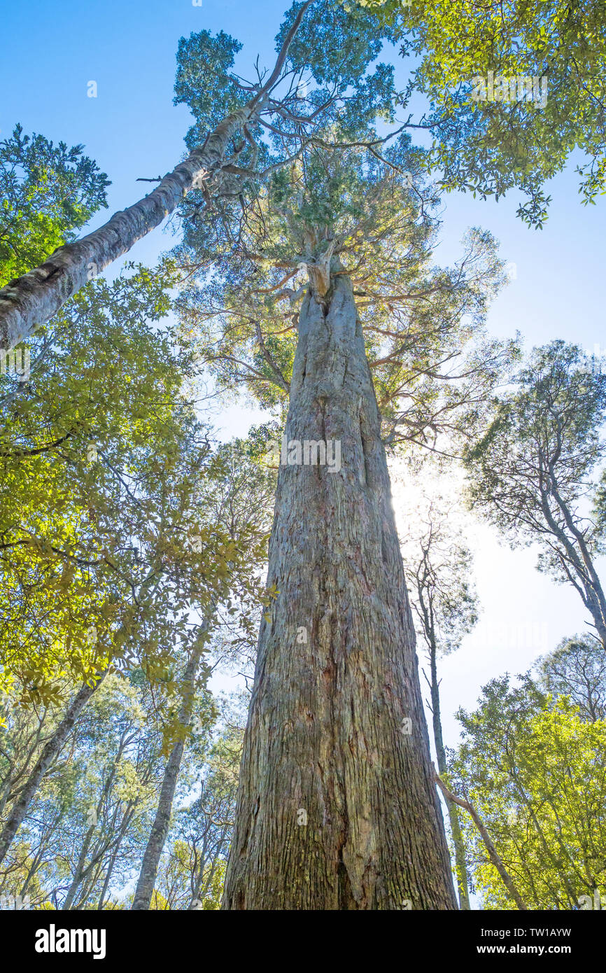 A large Eucalyptus obliqua tree, commonly known as the brown top stringybark or Tasmanian oak, photographed in the Liffey Falls State Reserve near Del Stock Photo