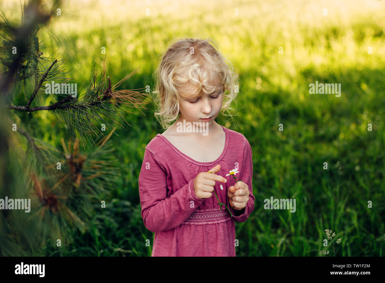 Cute beautiful blonde Caucasian girl in red pink dress guessing fortune on white daisy flower. Happy child kid wondering future on chamomile tearing p - Stock Image