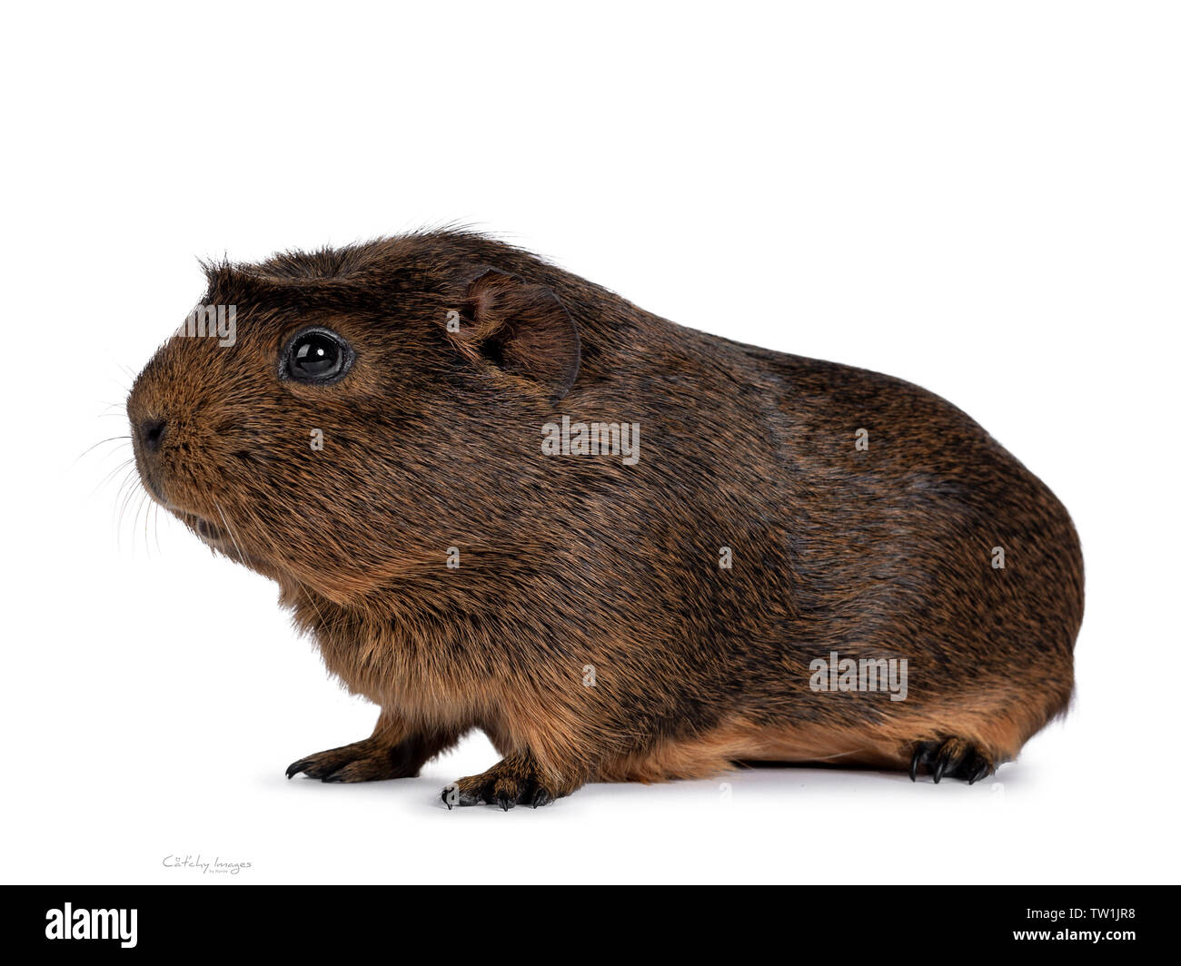 Cute crested cavy, standing side ways. Looking straight ahead. Isolated on white background. - Stock Image