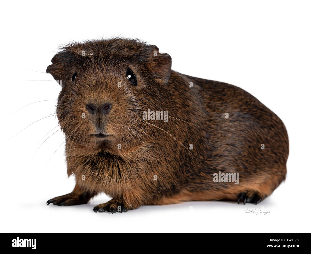 Cute crested cavy, standing side ways. Looking towards camera. Isolated on white background. - Stock Image