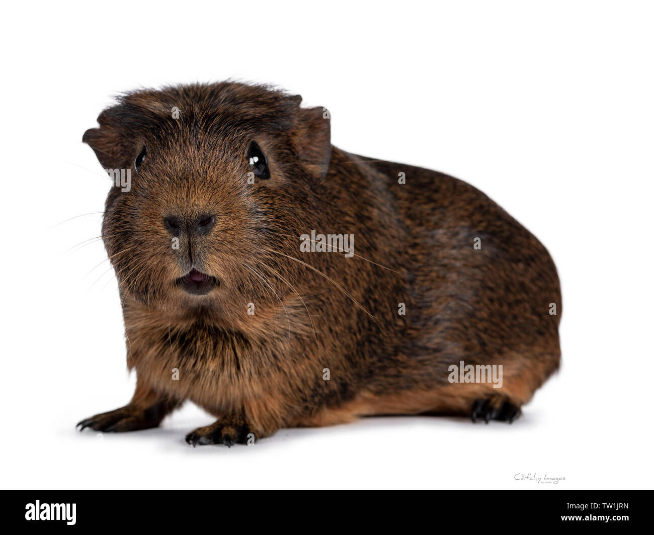 Cute crested cavy, standing side ways. Looking towards camera. Isolated on white background. Mouth silly open. - Stock Image