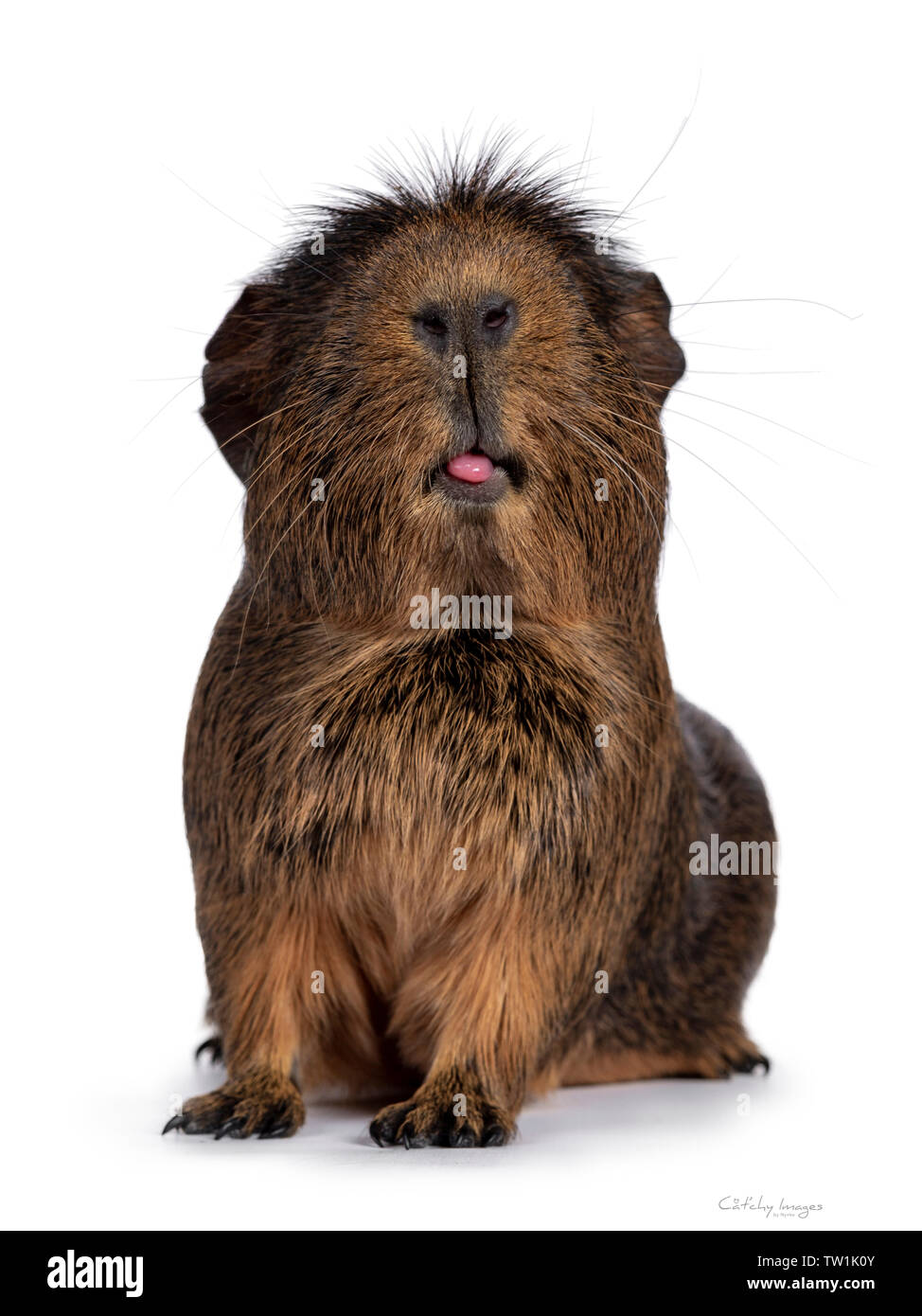 Cute crested cavy, standing facing front. Haed up, sticking out tongue. Isolated on white background. - Stock Image
