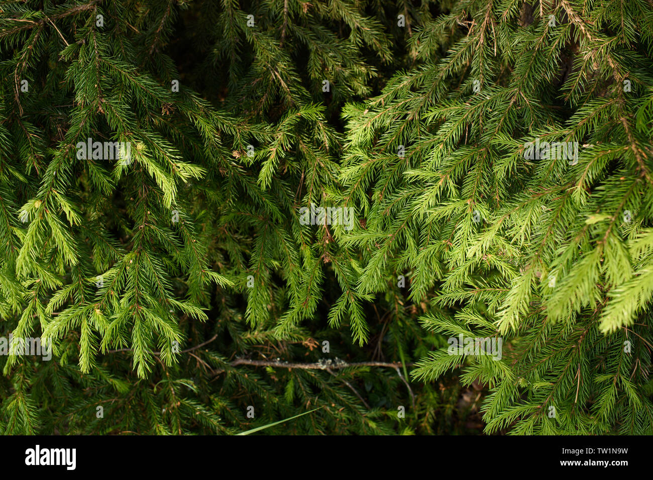 Branches of fir trees with new grown branches. Stock Photo