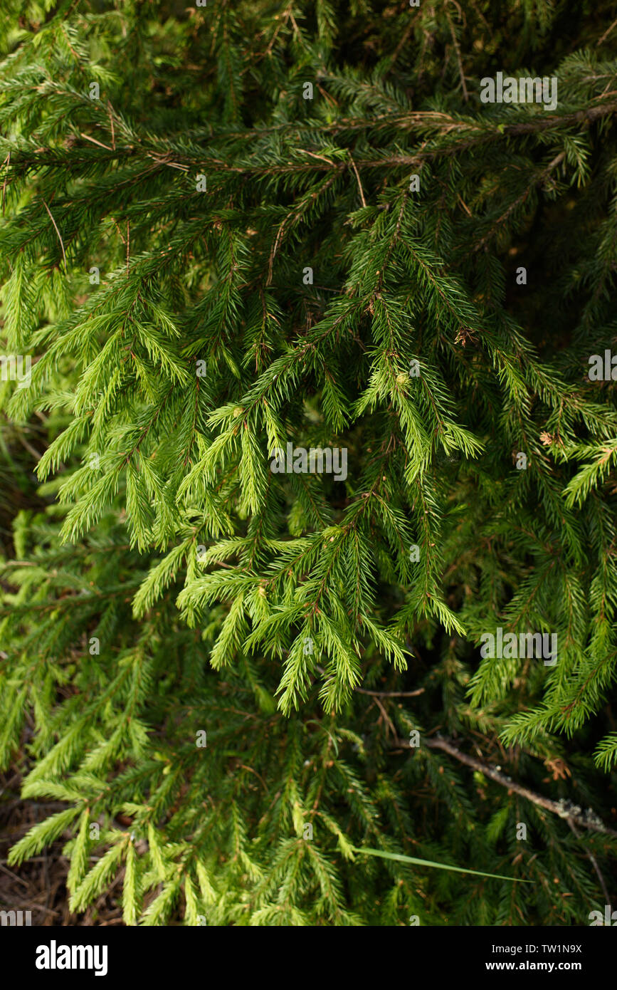 Branches of fir trees with new grown branches. - Stock Image