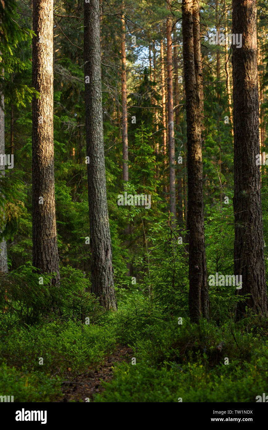 Forest landscape at evening sun. - Stock Image