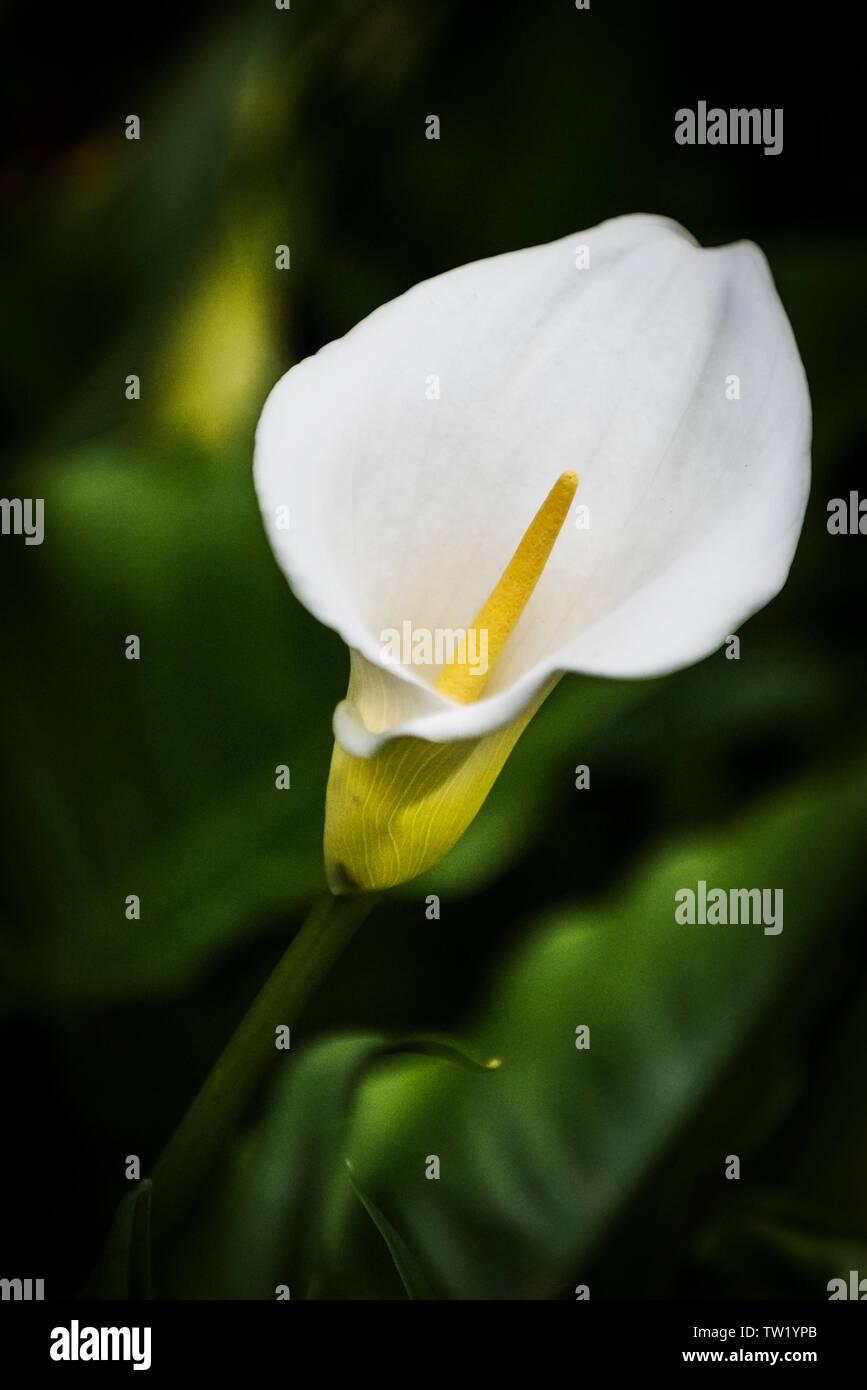 Zantedeschia aethiopica Calla lilly Arum lilly Stock Photo