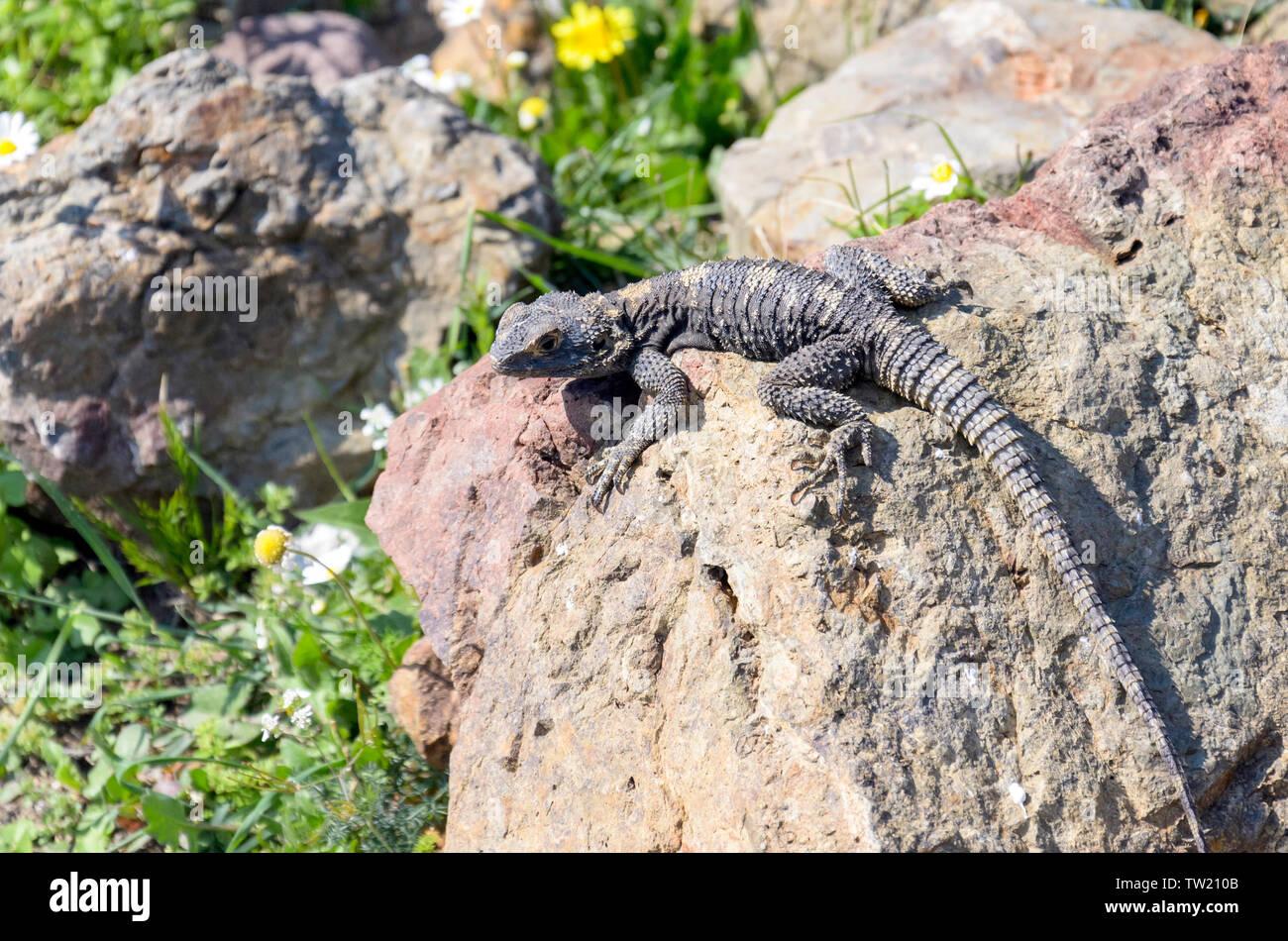 Lizard on rock - Stock Image
