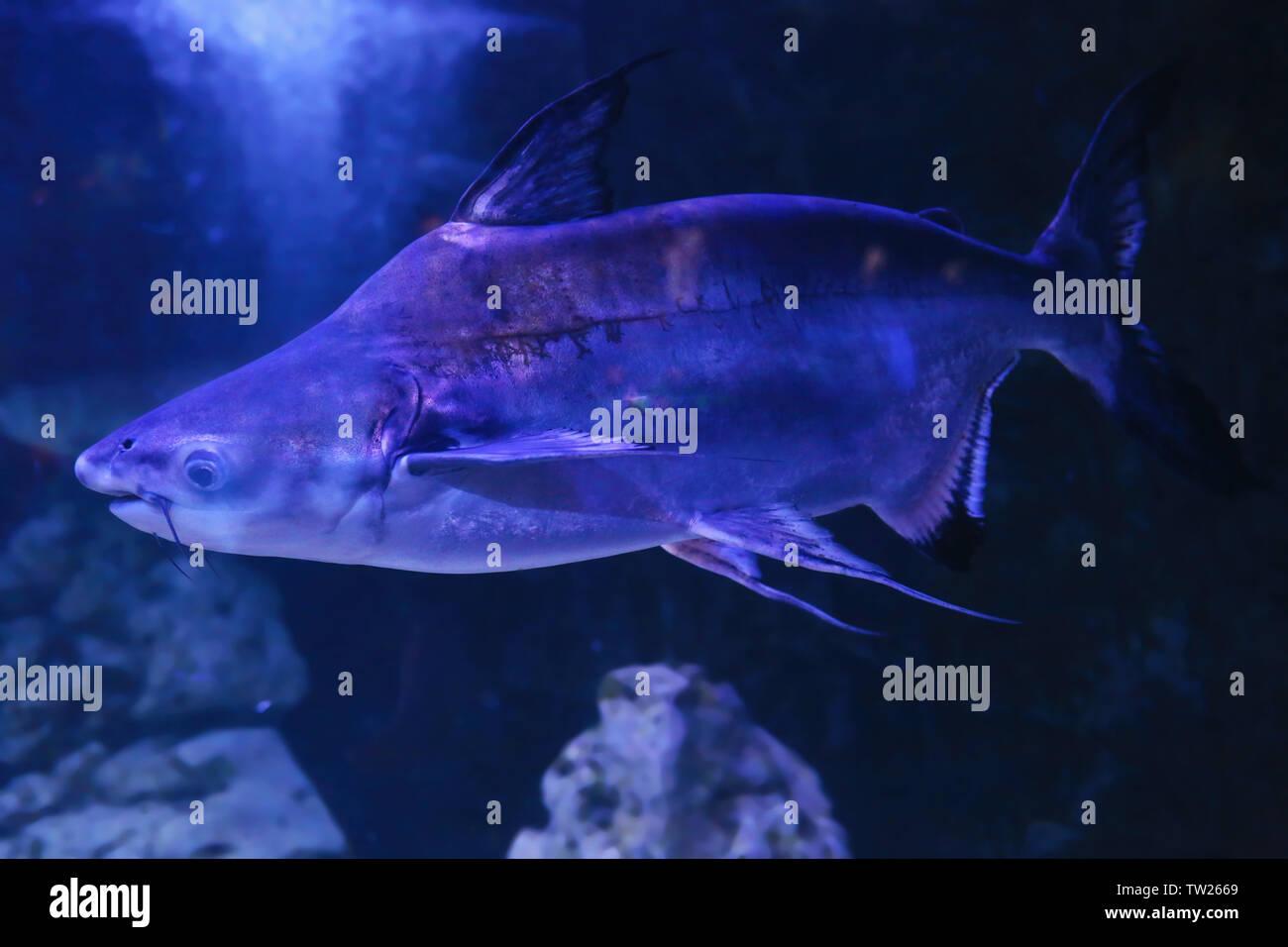 Exotic freshwater fish in aquarium Stock Photo