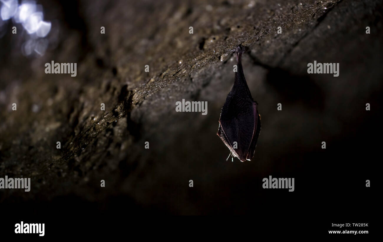 Close up small sleeping horseshoe bat covered by wings, hanging upside down on top of cold natural rock cave while hibernating. Creative wildlife - Stock Image
