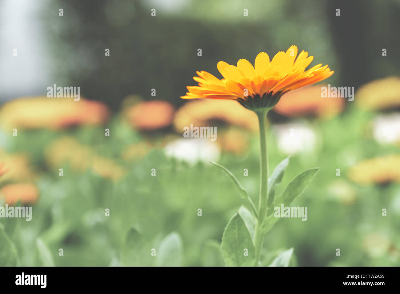 One single flower with vibrant orange petals stands out from a faded background of others - eye level side view, close-up, selective focus, landscape Stock Photo