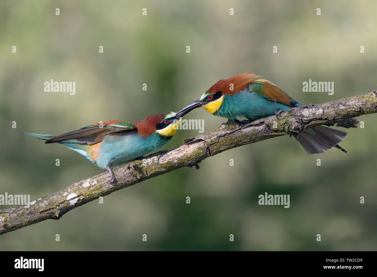 Struggle between European bee eaters (Merops apiaster) Stock Photo