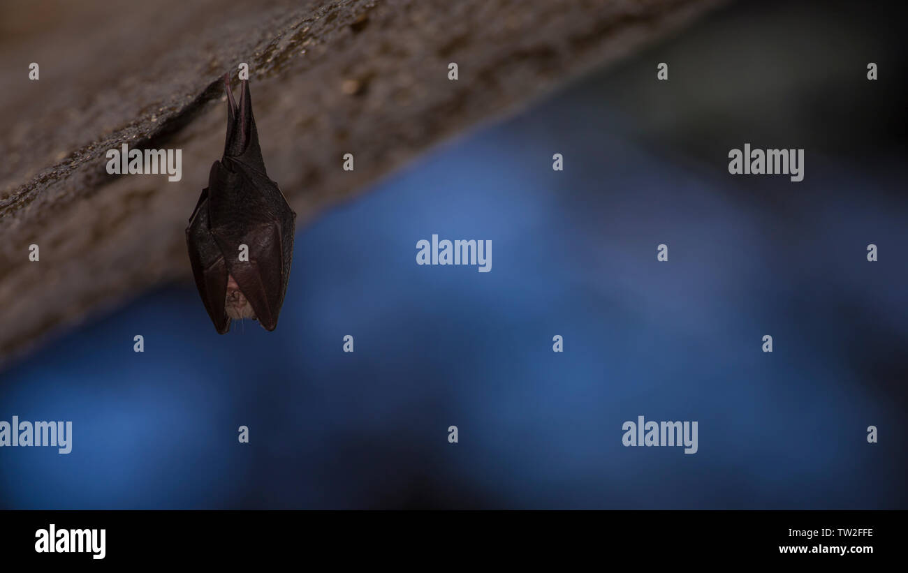 Close up small sleeping horseshoe bat covered by wings, hanging upside down on top of cold natural rock cave while hibernating. Blurry background. - Stock Image