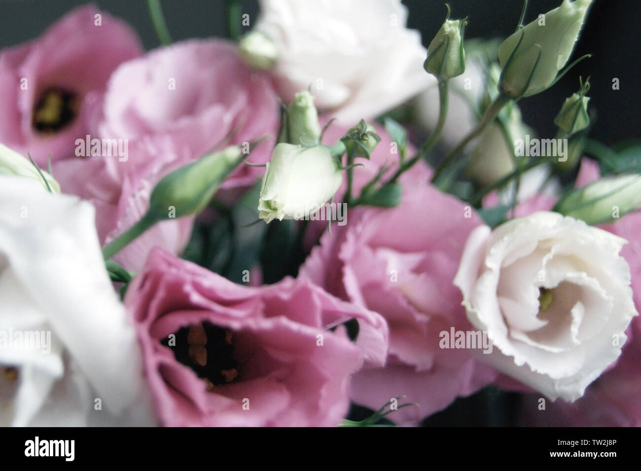 Beautiful bouquet of pink prairie gentian flowers in soft focus and  haze, floral background - Stock Image
