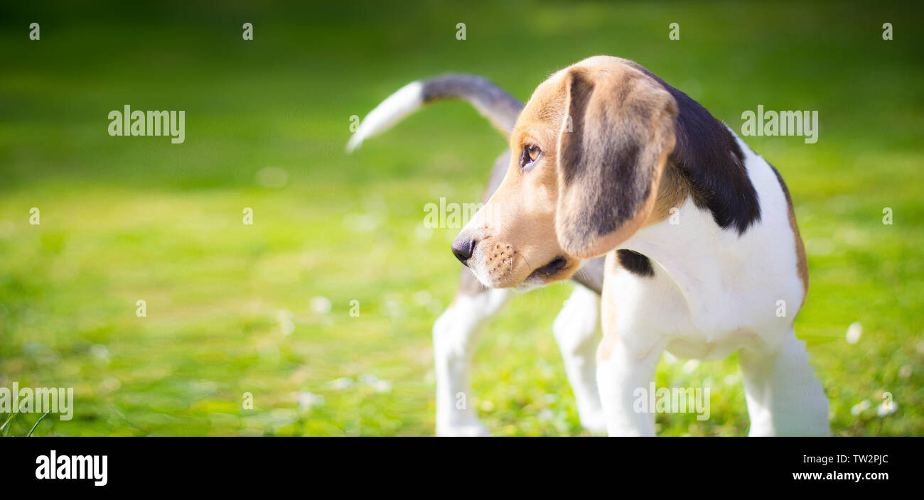 portrait of a beagle puppy dog on the field - Stock Image