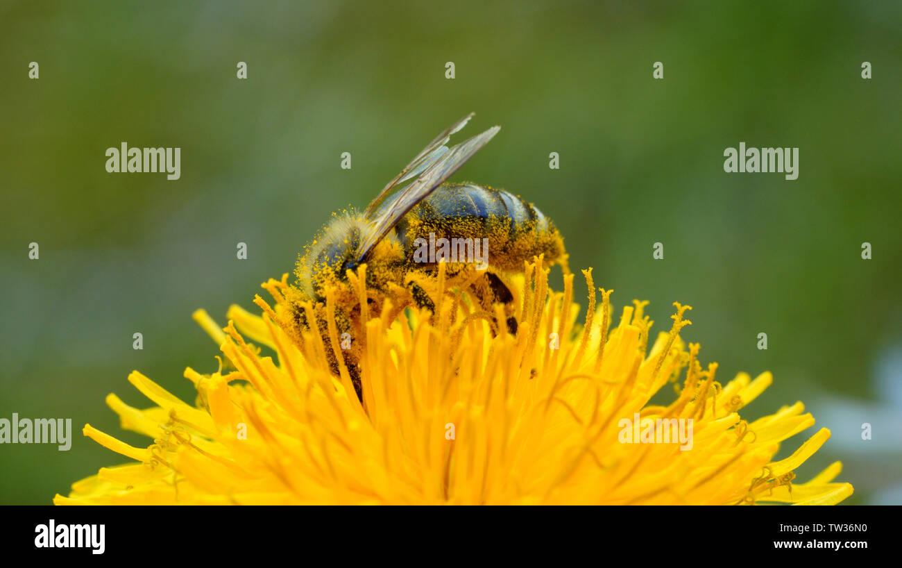 Biene - Löwenzahn - Stock Image