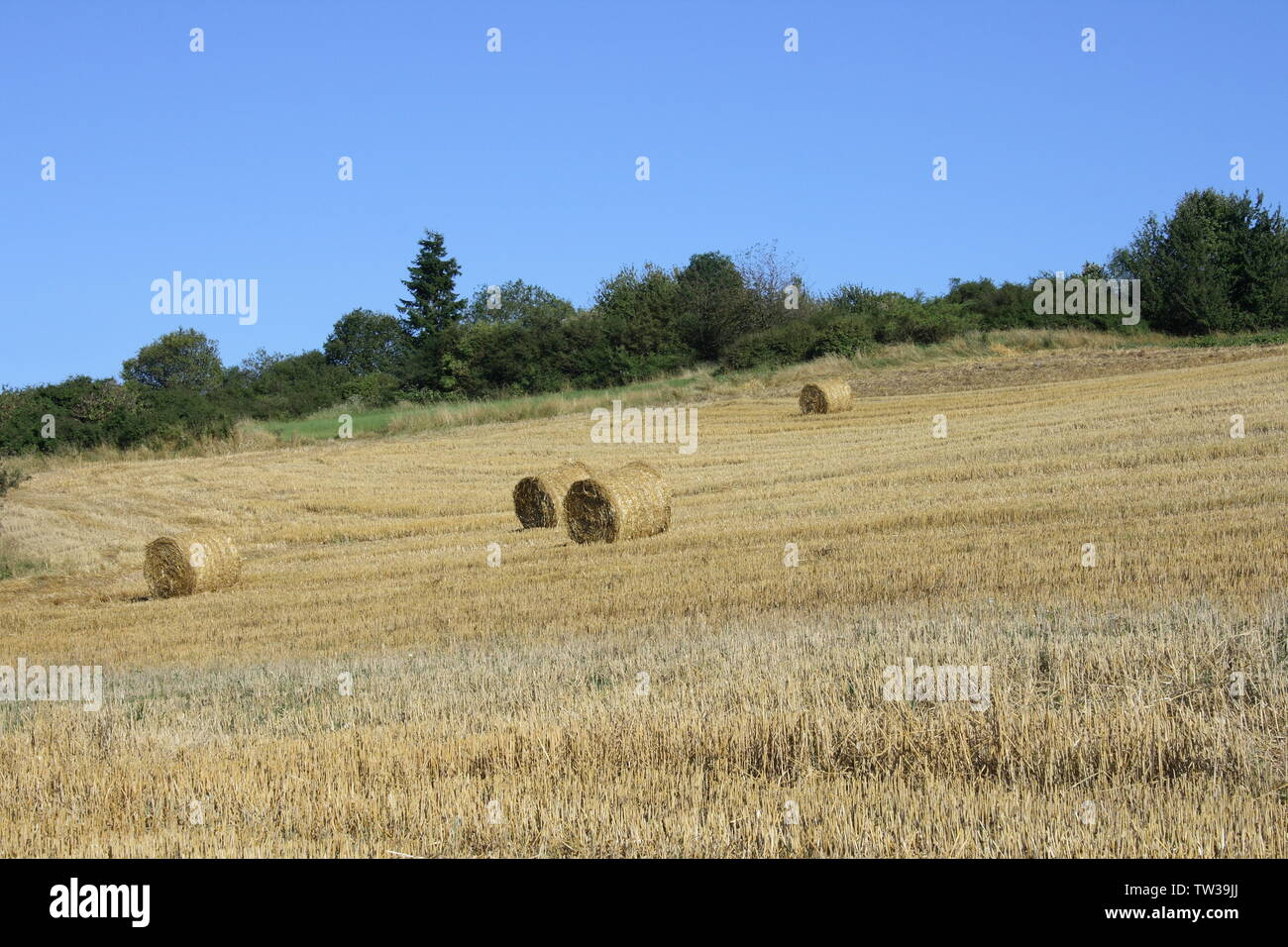 A Harvested grain field with straw rolls, forest in the background - Stock Image