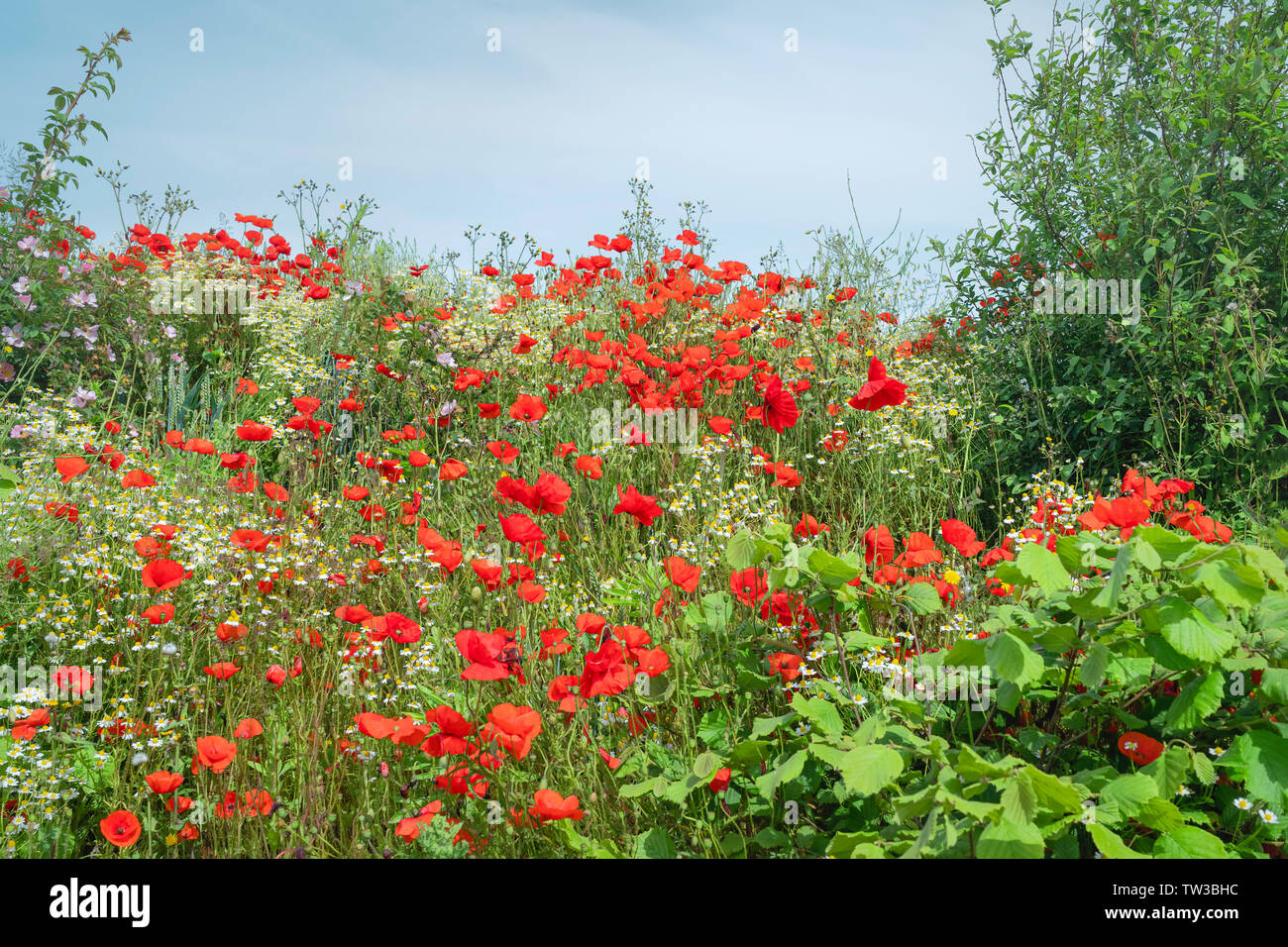 Wild flowers, poppies and daisies, dance in the wind on a fine sunny morning along Minster Way, Beverley, Yorkshire, UK. - Stock Image