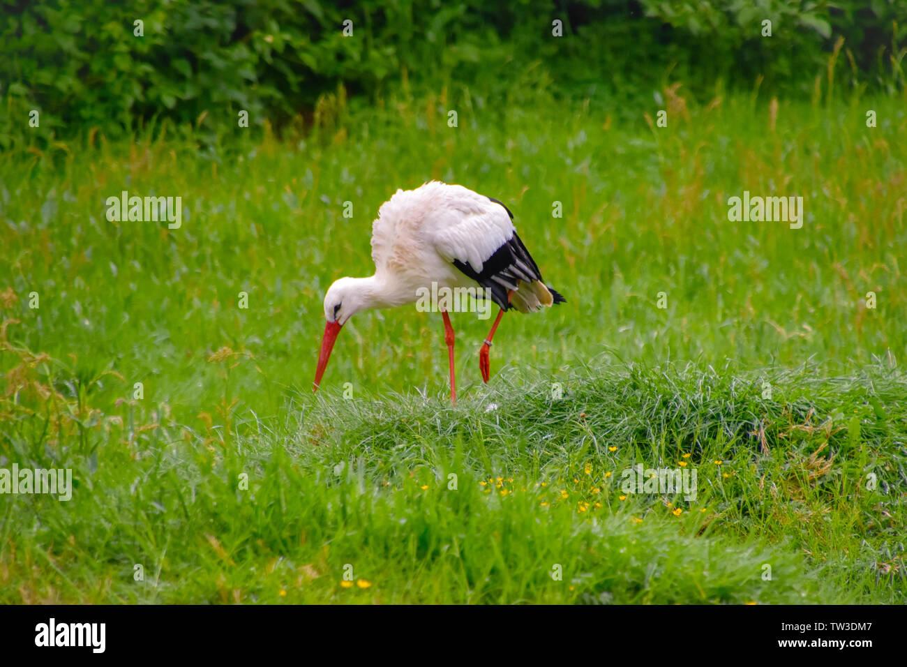 Storch auf der Wiese und im Nest Stock Photo