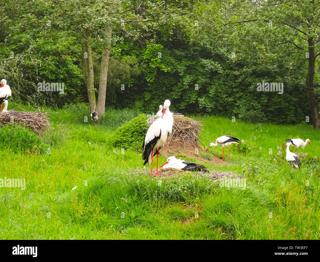 Storch auf der Wiese und im Nest - Stock Image