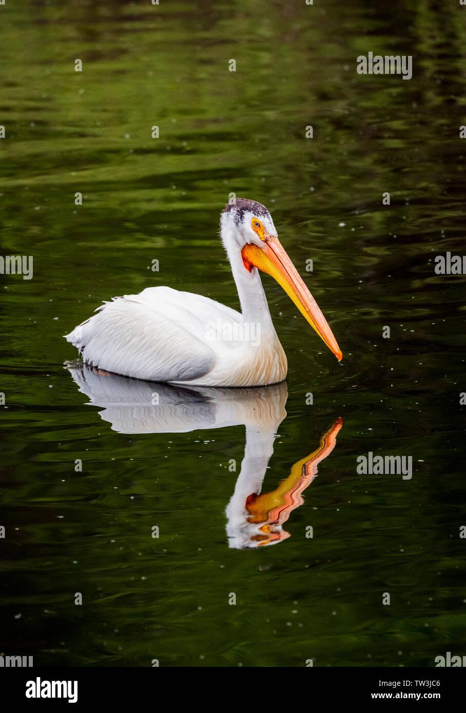 American White Pelican swimming in Sands Lake State Wildlife Area; Salida; Colorado; USA Stock Photo