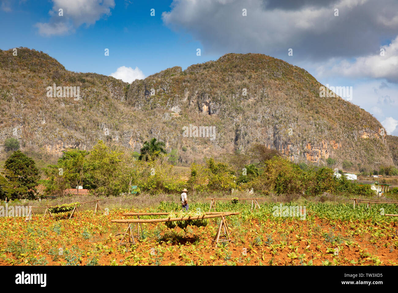 Tobacco leaves being picked to go into the Drying house at Casa del Veguero, Tobacco drying house in the Vinales Valley. - Stock Image